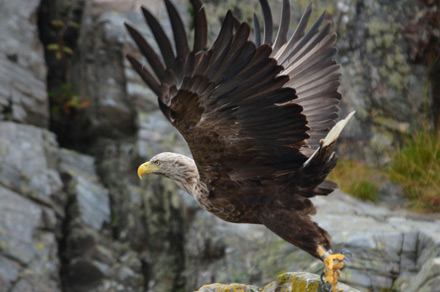 Sea eagle flying near the holiday cottage